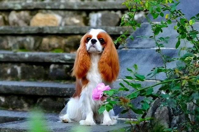 Nellie Beautiful Queen Cavalier King Charles Spaniel Cavalierkingcharles Cavalierkingcharlesspaniel Ckcs Dog Cavalierking Dog Show Beautiful Cavalier Cavalier King Charles Akc cavalier
