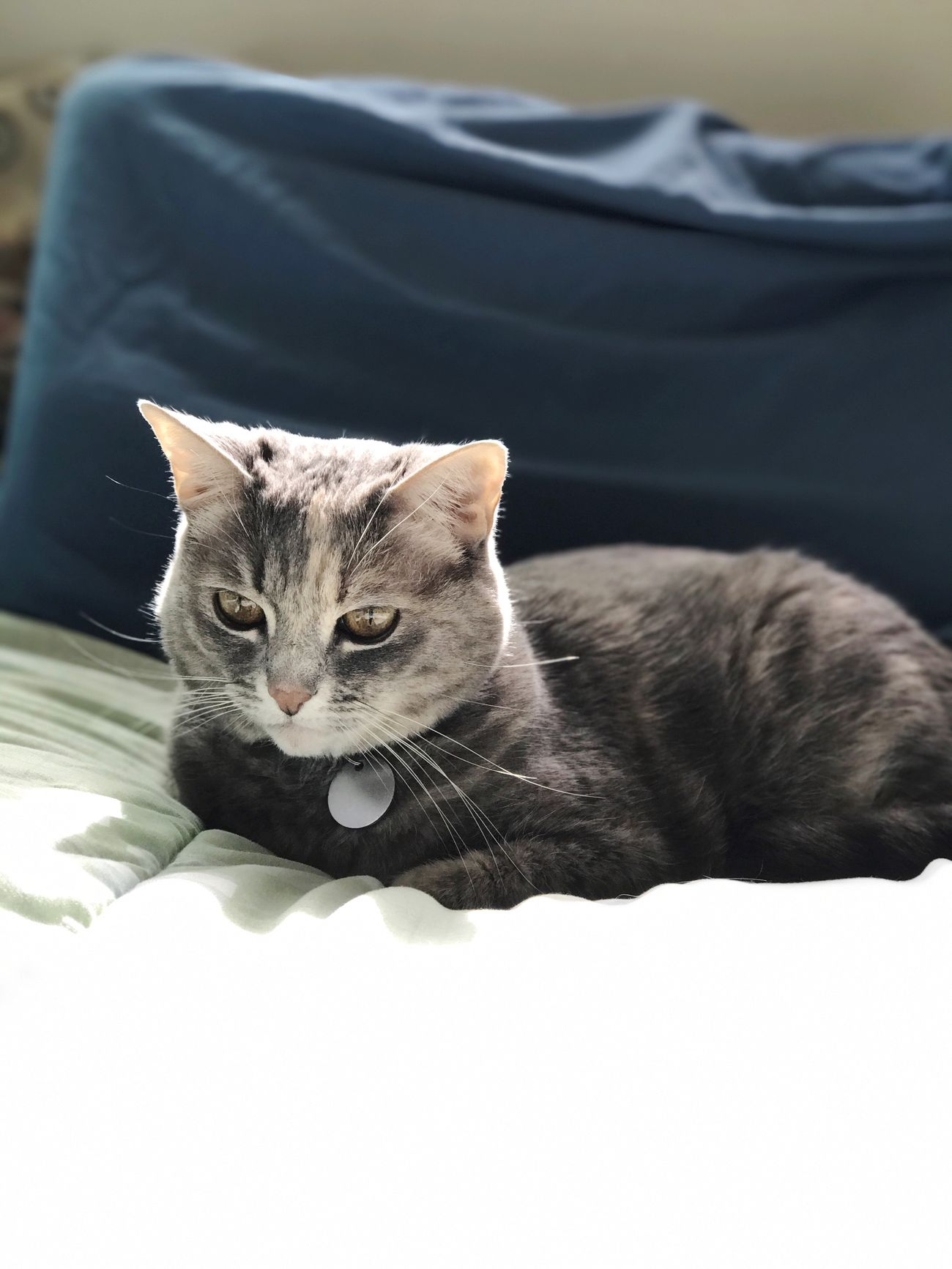 Pets One Animal Domestic Cat Domestic Animals Animal Themes Mammal Feline Whisker No People Indoors  Close-up Day Cat On Bed Bedroom Cat Grey Cat