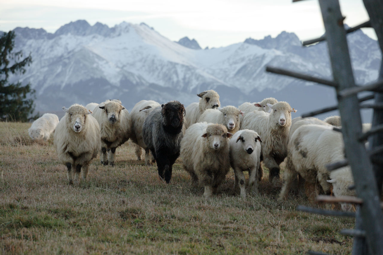 Animal Themes Autumn Field Flock Of Sheep Grass Grazing Landscape Large Group Of Animals Livestock Mountain Mountain Peak Mountain Range Mountain View Mountains Pasturage Pasture Poland Polen Rural Rural Scene Sheep Sheeps Tatry Tatry Mountains Togetherness