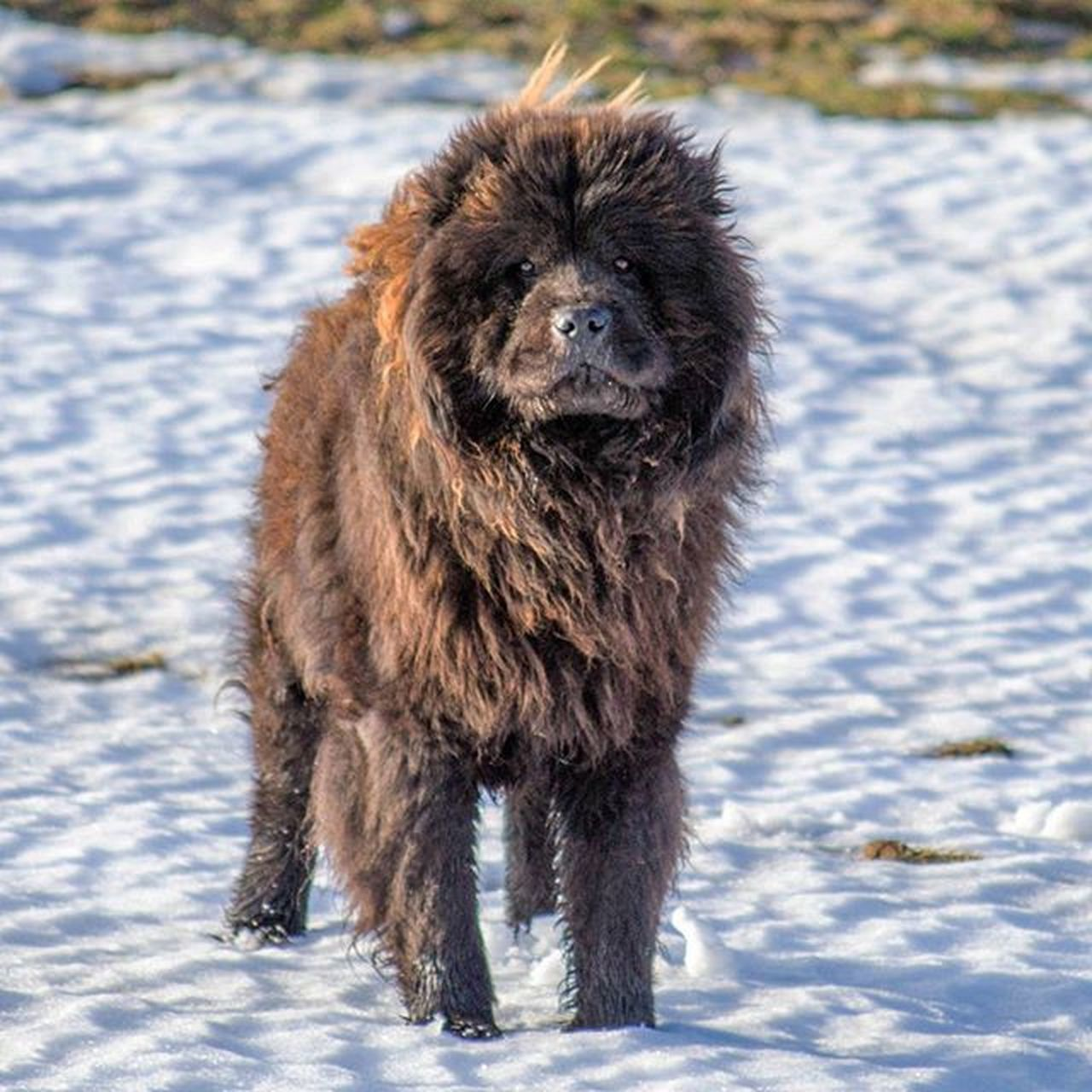 KING KONG ChowChow Dog Dog Puppy Pup Cute Eyes Instagood Dogs_of_instagram Pet Pets Animal Animals Petstagram Petsagram Dogsitting Photooftheday Dogsofinstagram Ilovemydog Instagramdogs Nature Dogstagram Dogoftheday Lovedogs Lovepuppies hound adorable doglover instapuppy instadog