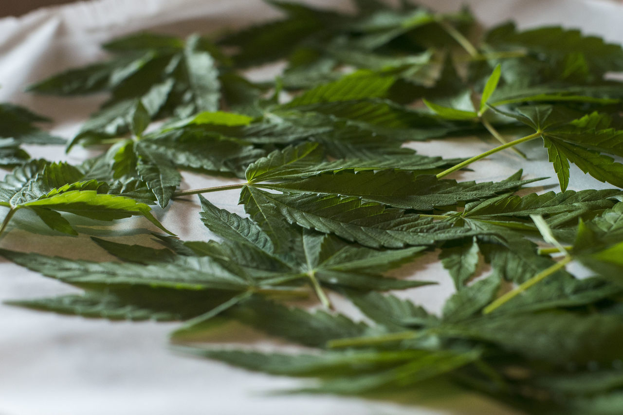 leaf, green color, close-up, herb, freshness, no people, indoors, plant, nature, food, day