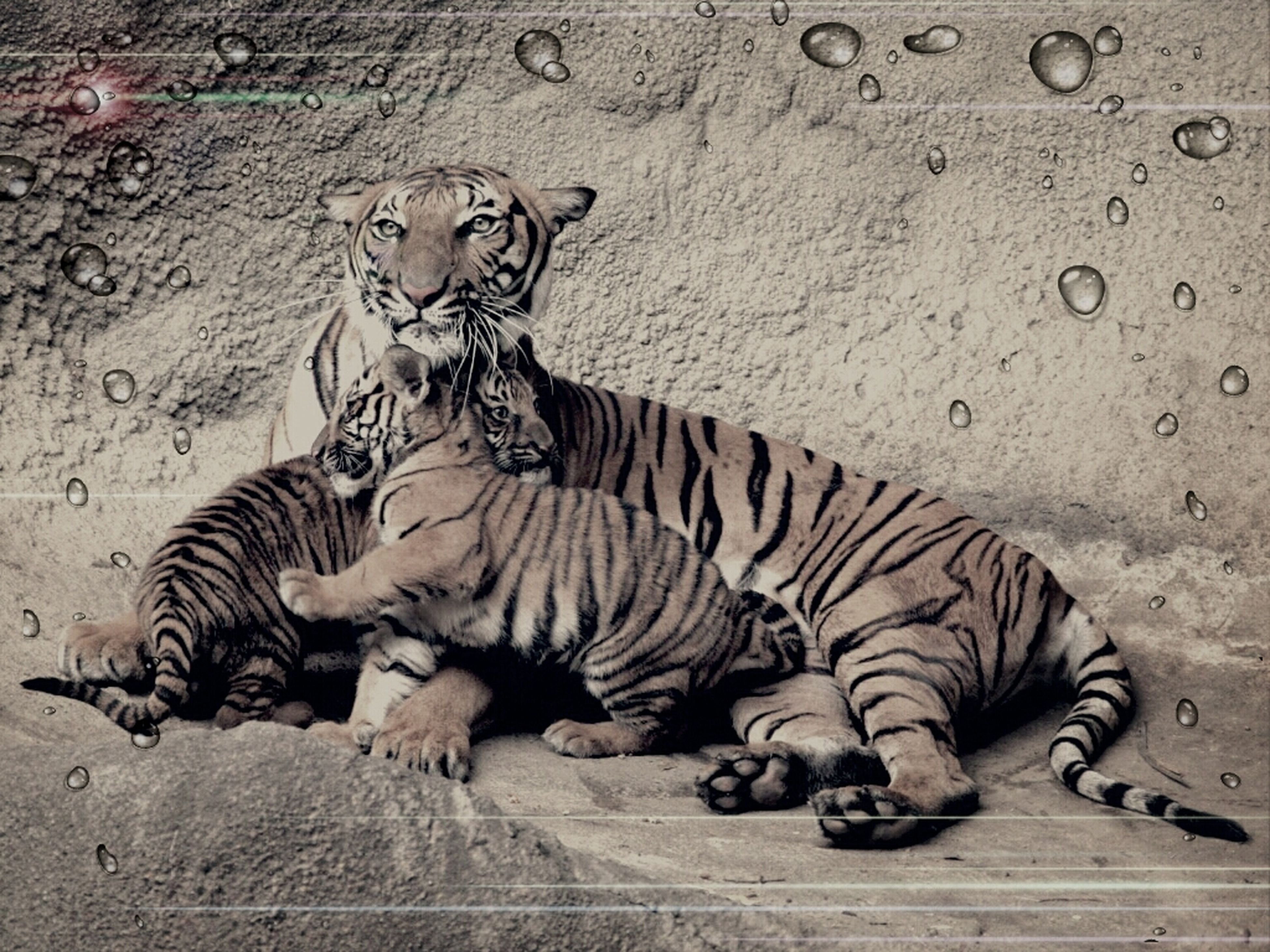 animal themes, animals in the wild, mammal, wildlife, full length, one animal, two animals, animal markings, zebra, striped, togetherness, safari animals, zoo, no people, high angle view, day, outdoors, relaxation, pattern, animal representation
