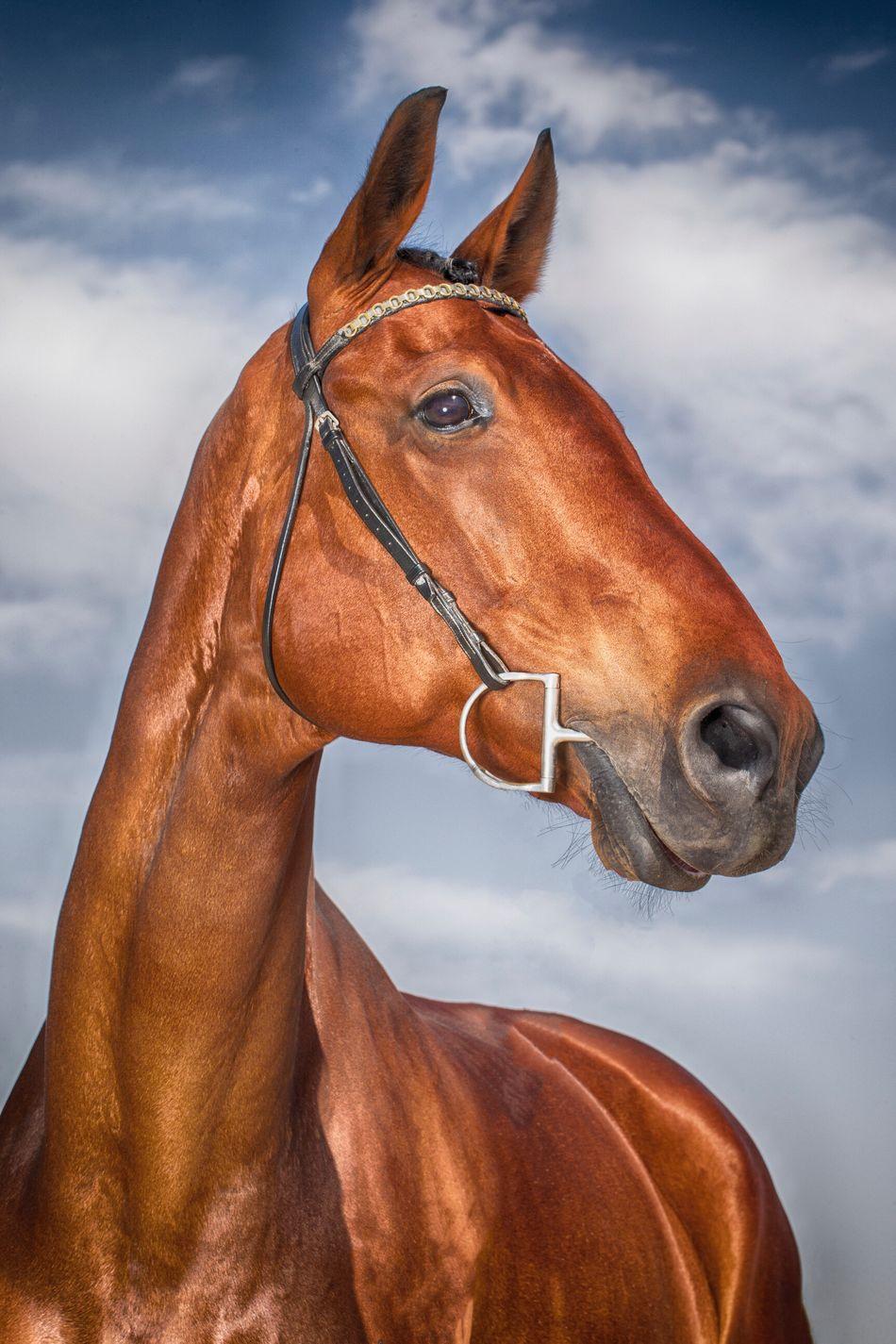 Beautiful stock photos of pferde, Animal Themes, Bridle, Brown, Cloud - Sky