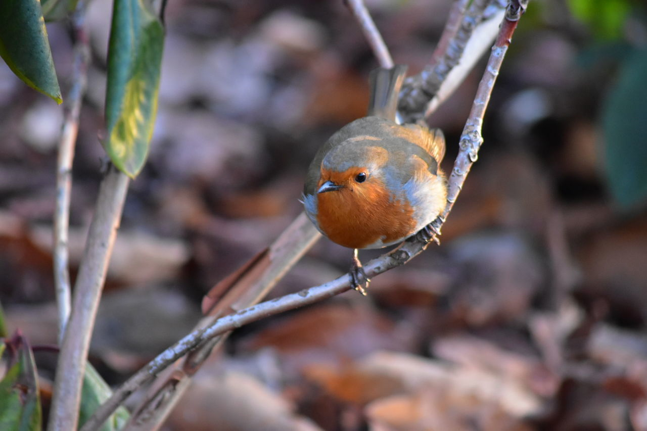 Robin Close-up Outdoors Nature No People Animal Themes Day Beauty In Nature Perching Songbird  Robin Early Morning Animal Wildlife LONDON❤ Greenwich Park