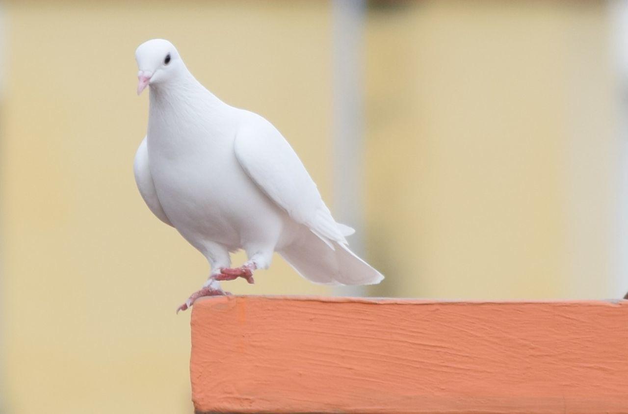 Beautiful stock photos of dove,  Animal Wildlife,  Animals In The Wild,  Bird,  Close-Up