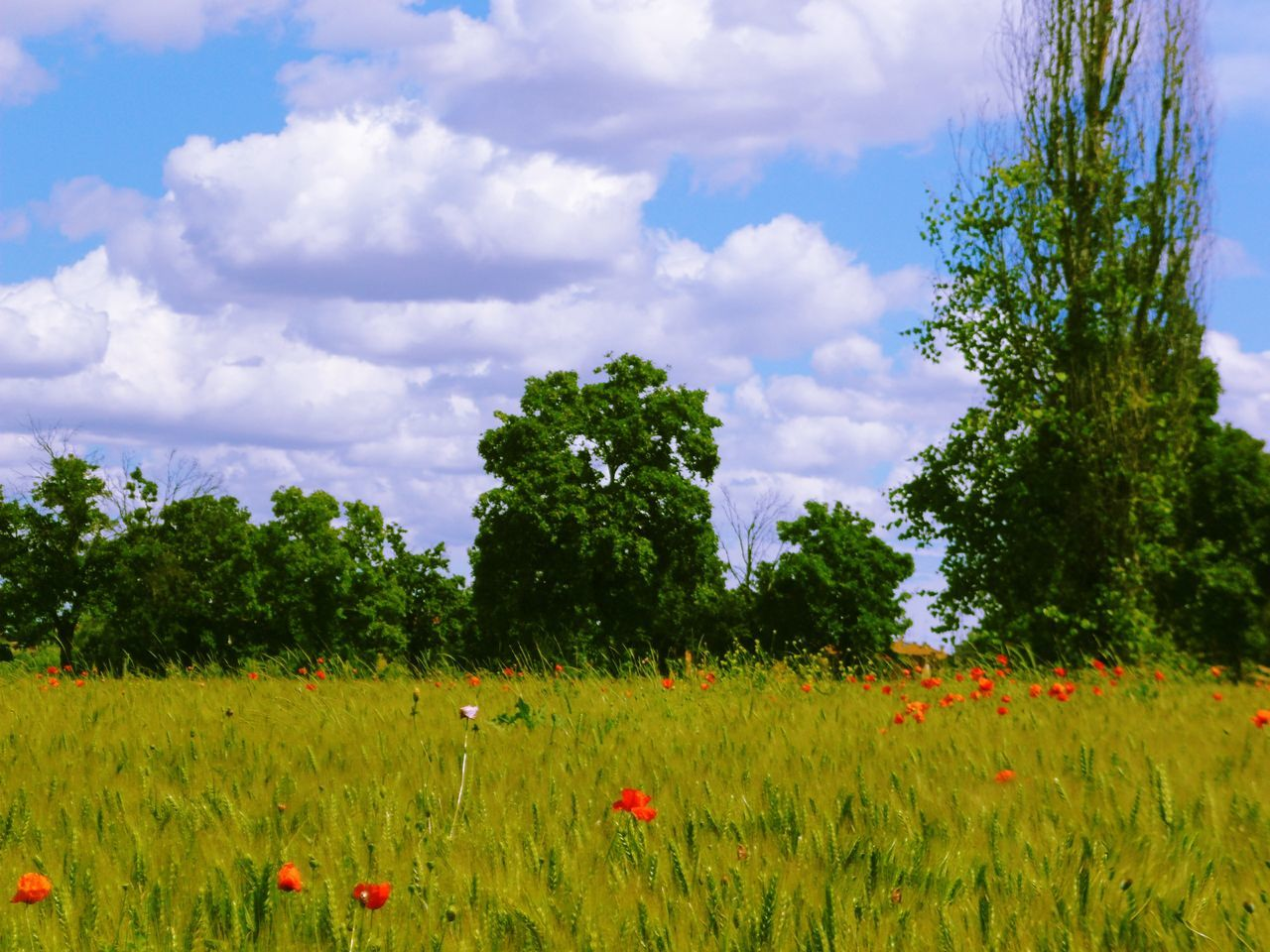 Discover Your City Poppy Flowers Clouds And Sky Nature