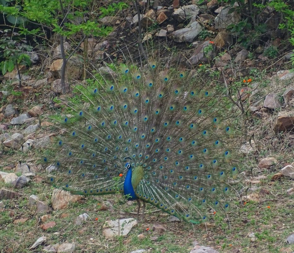Indianpeafowl @ Hill Of hathnimata, Panchmahal, Gujarat, India. High Angle View Outdoors Day Purist No Edit No Filter Sonyphotography Dancingpeacock EyeEm Selects Wildlife Nationalbirdofindia Malephotographerofthemonth Let's Go. Together. The Great Outdoors - 2017 EyeEm Awards Birds Of EyeEm  Indianphotographer EyeEm Nature Lover EyeEm Best Shots EyeEm Gallery Sommergefühle Wine Not