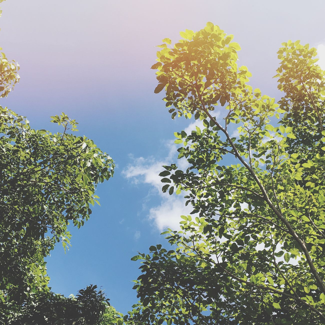 Tree Low Angle View Branch Growth Sky Leaf Scenics Green Color Tranquility Nature Beauty In Nature Day Tranquil Scene Cloud Green Outdoors High Section Blue Treetop Cloud - Sky