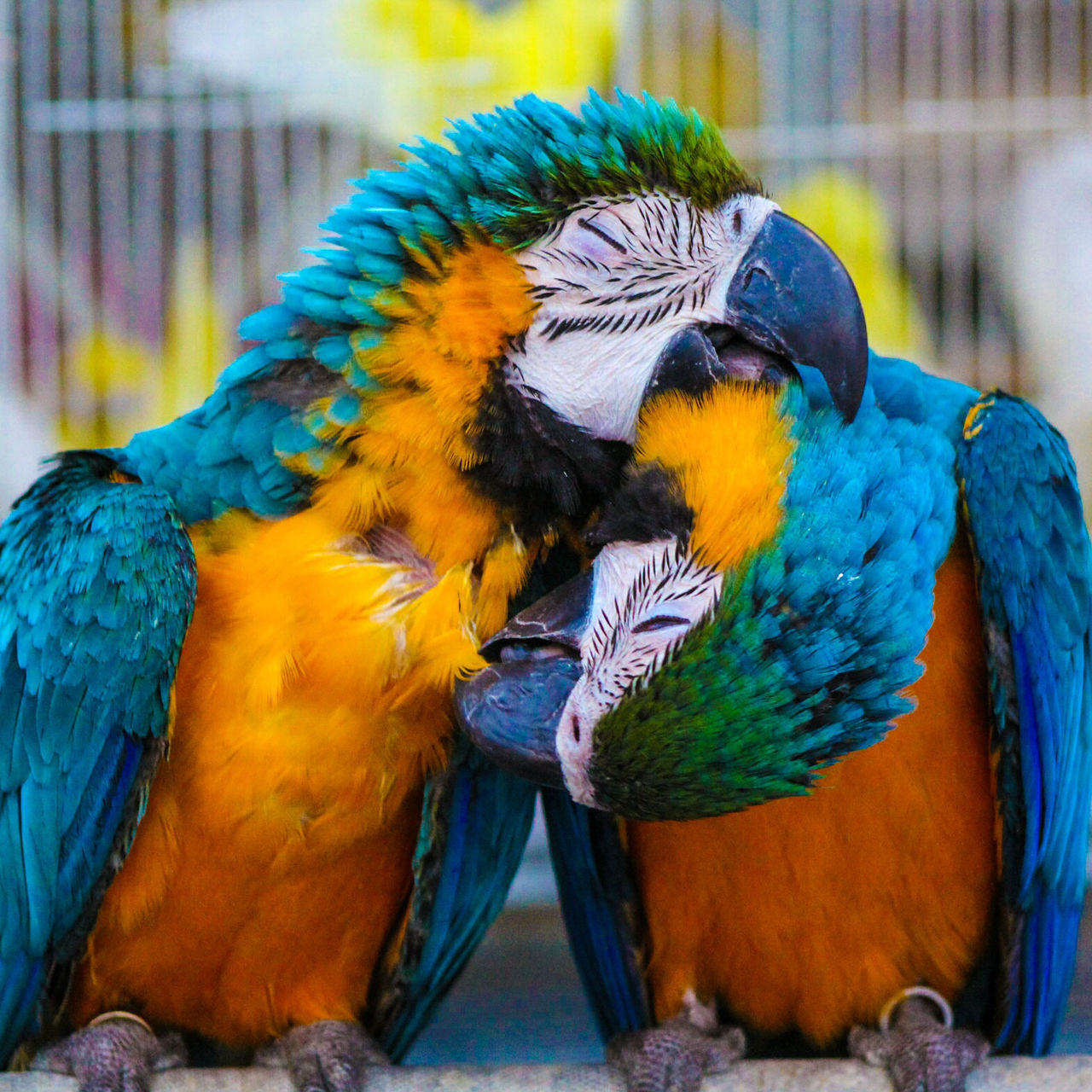 Exploring Style Animal Themes Bird Animals In The Wild Animal Wildlife Close-up Gold And Blue Macaw Day Beauty In Nature Parrot Nature Macaw Outdoors No People Bright Colours