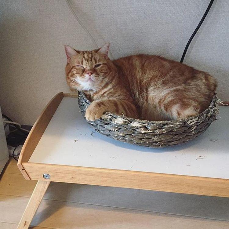 Cat Neko ねこ 猫 ねこ Cats スコティッシュフォールド Scottishfold 茶トラ ロロ Lolo コケティッシュフォールド コケティッシュホールド かご猫 朝ロロ〜😆😸ピオのせいでかごズタボロだよ…💦