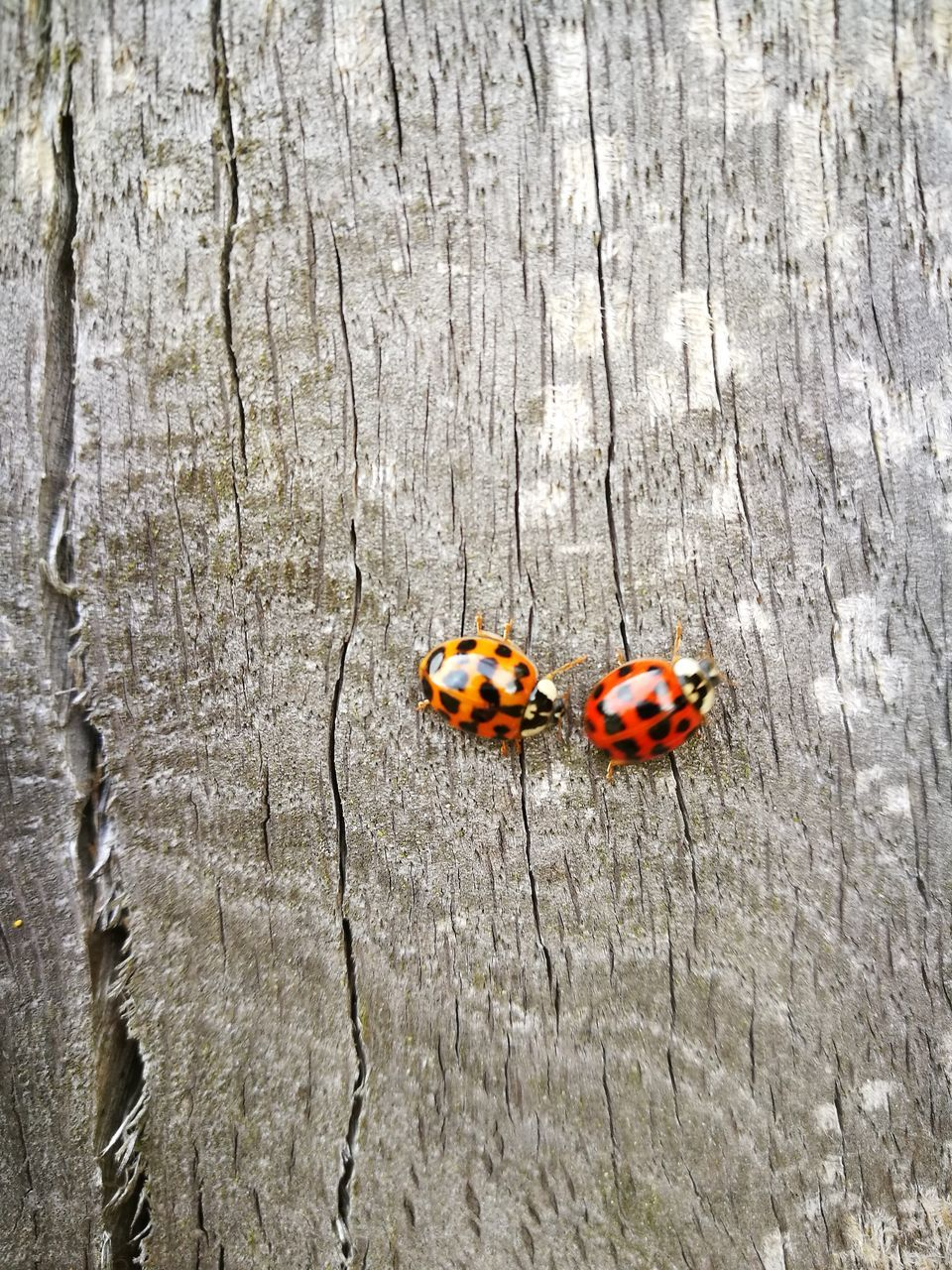 animal themes, insect, animals in the wild, ladybug, togetherness, day, outdoors, no people, red, close-up, nature