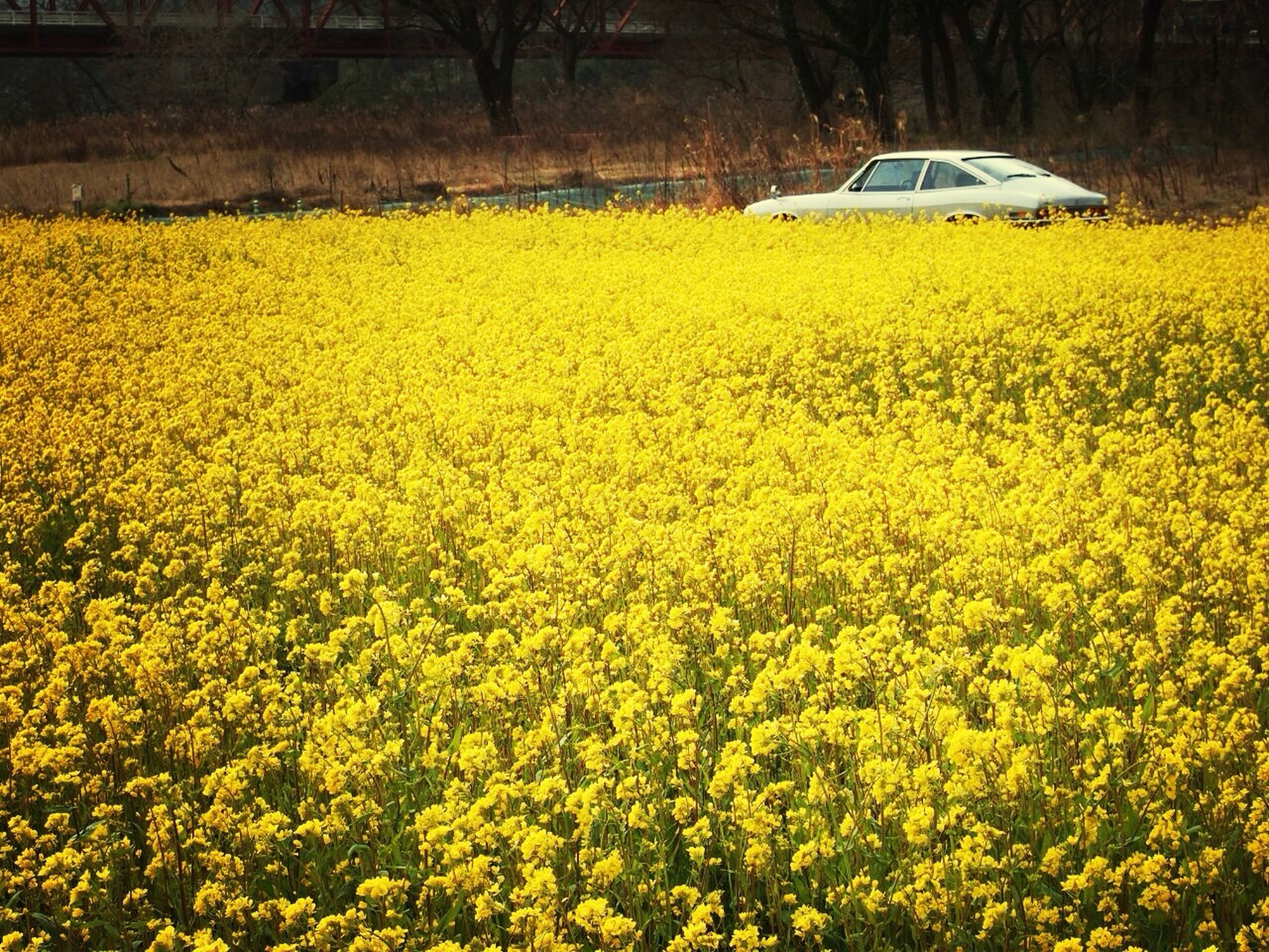 yellow, flower, transportation, growth, field, mode of transport, beauty in nature, nature, rural scene, agriculture, land vehicle, plant, abundance, car, freshness, outdoors, farm, landscape, no people, tranquility