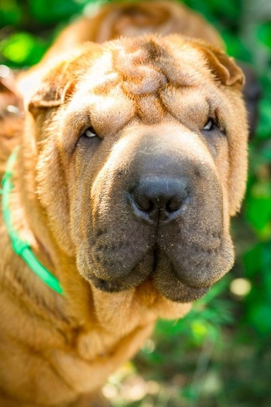 Sharpei I Love My Dog Dog Dogs