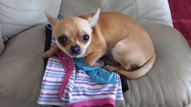 Did you really just iron these, sorry Ironing Clothes Sitting On My Sofa Dog Chihuahua Chihuahua Lovers One Dog Cute Dog  Cute Dog Chihuahua Naughty Dog Cheeky Dog My Dog Canine Small Dog Little Dog Guilty Look Im Sorry Guiltydog Dogs Of EyeEm EyeEm Dogs EyeEm Dog Lover Dont Be Scared Naughty Boy Cheeky Boy Sorry