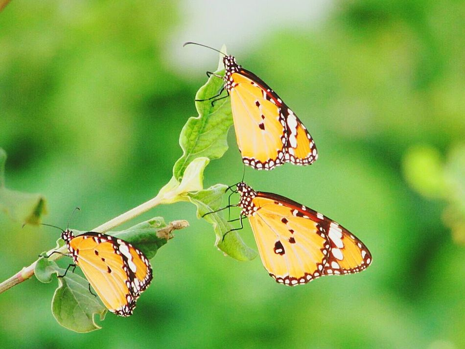 Butterflies Butterfly ❤ Butterflyporn Butterfly Garden Hello World ✌ Hello EyeEm Lovely Weather Lovelybutterfly Orangebutterfly Butterfly Macro