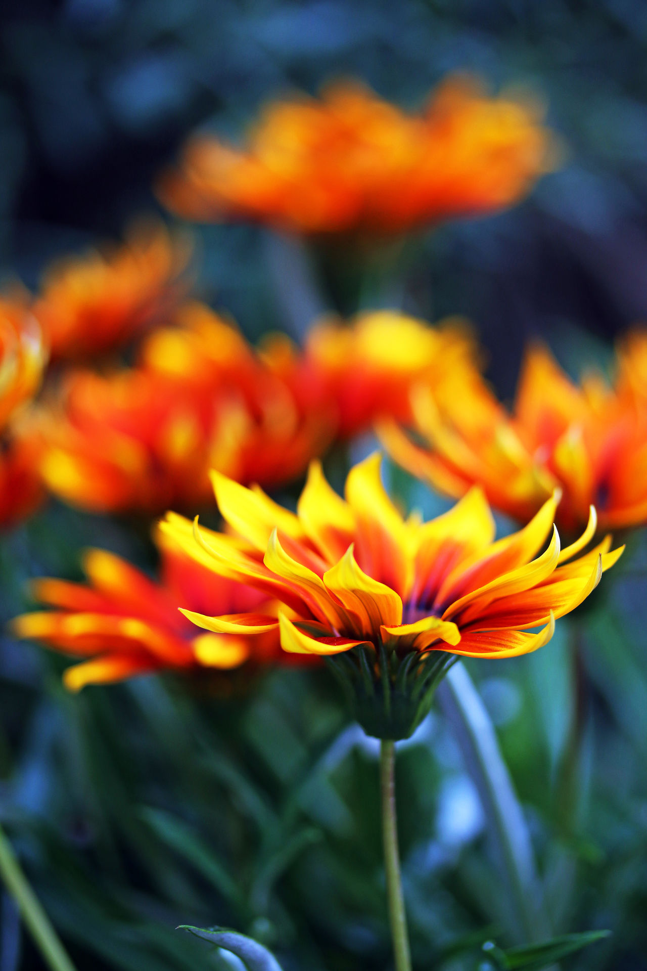 Beauty In Nature Close-up Day Flower Head Freshness Nature No People Orange Color Outdoors Petal Yellow Yellow Red Daisies