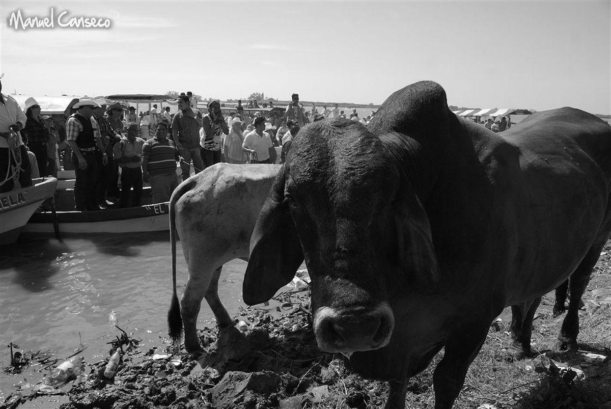During the Candelaria's celebration day in Tlacotalpan,Veracruz. portrait of a cebu wich is a very big bull.. 2011 Animal Animal Head  Animal Themes Bu Cattle Feria Livestock México,Veracruz One Animal Puebla Regional Tlacotalpan Tradition Trdiciones De Mexico