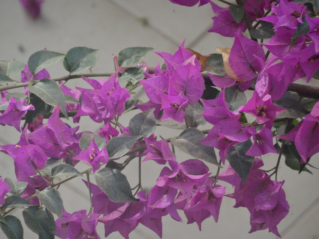 flower, growth, plant, fragility, leaf, beauty in nature, petal, nature, purple, no people, bougainvillea, freshness, pink color, close-up, outdoors, day, blooming, flower head
