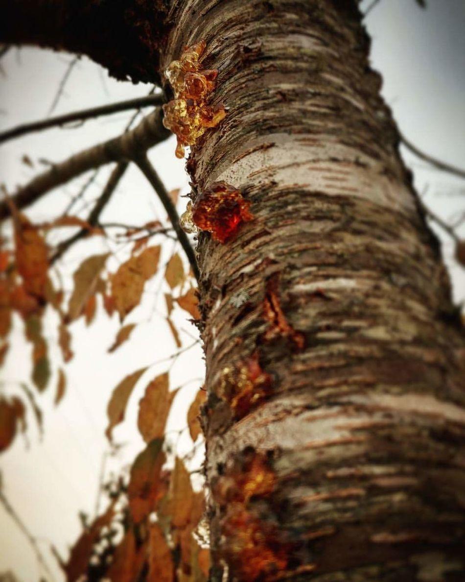 Wild Cherry Sap. Wild Cherry Tree Wild Cherry Tree Sap