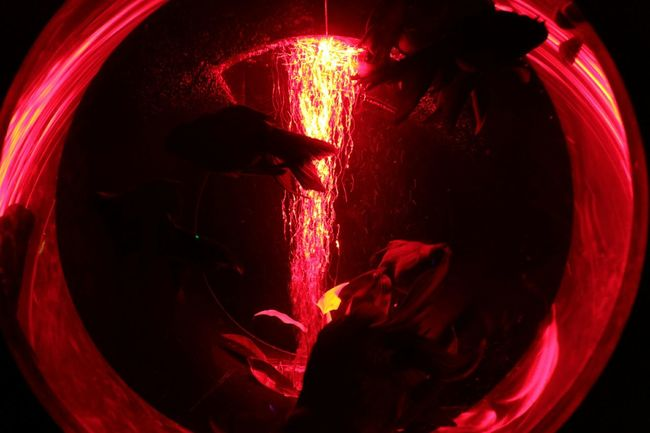 今日は会社の残業で晩飯を食すッ!!通称✨飯残✨覚えてね(;¬∀¬)ハハハ… w Hello World Art Aquarium2015 Talking Photos Light And Shadow Red And Black Waterporn Gold Fish Redlight Japanese Culture