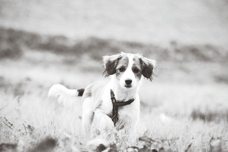 Dog Pets Animal Canine Photography Animal Photography Dog Portrait Kooikerhondje  Dog Photography Dogs Of EyeEm Dogs Life Puppy Puppy Photography Puppy Portrait