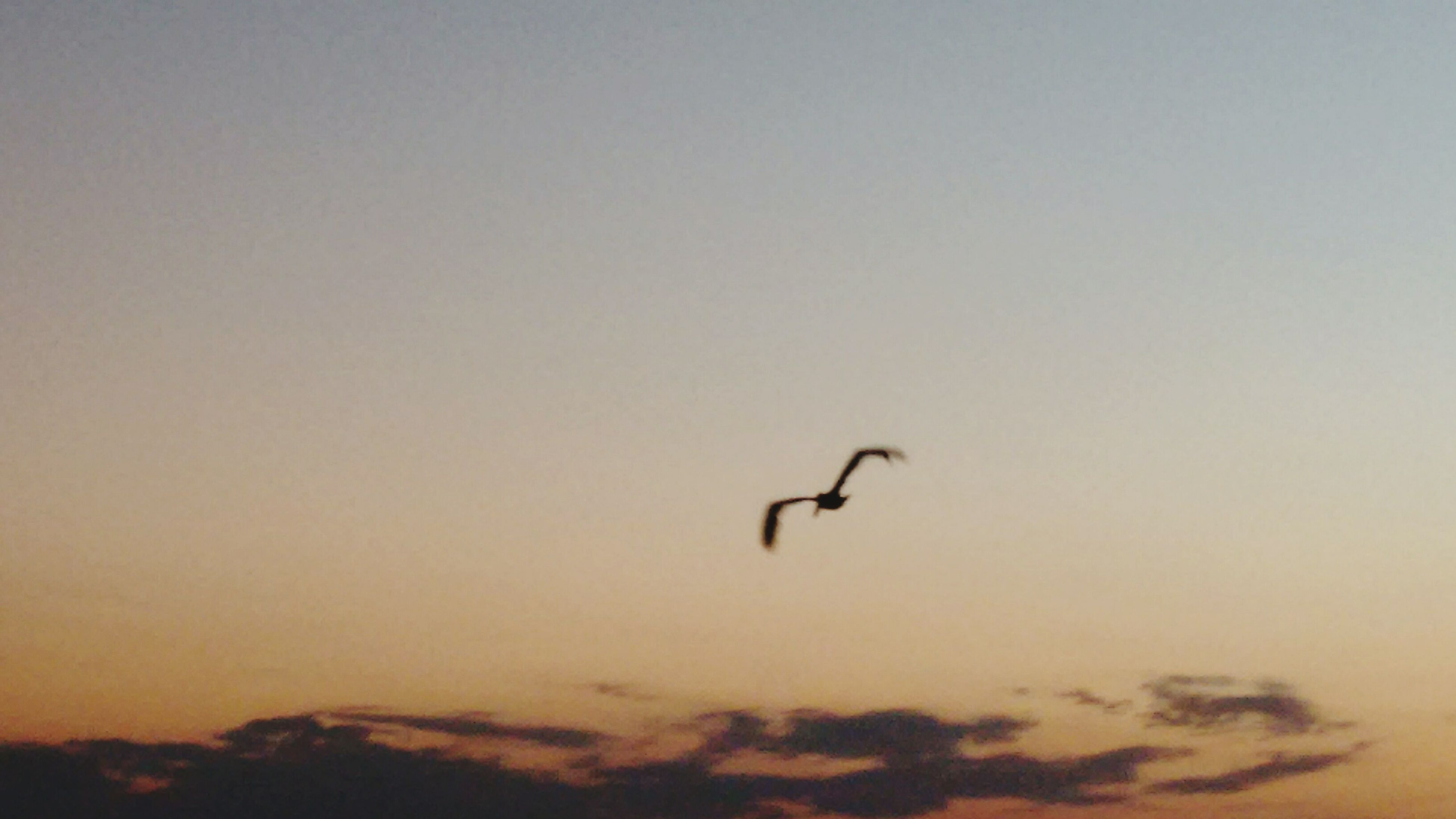 bird, animal themes, flying, animals in the wild, one animal, wildlife, silhouette, low angle view, spread wings, copy space, sky, nature, mid-air, sunset, beauty in nature, scenics, clear sky, tranquility, tranquil scene, outdoors