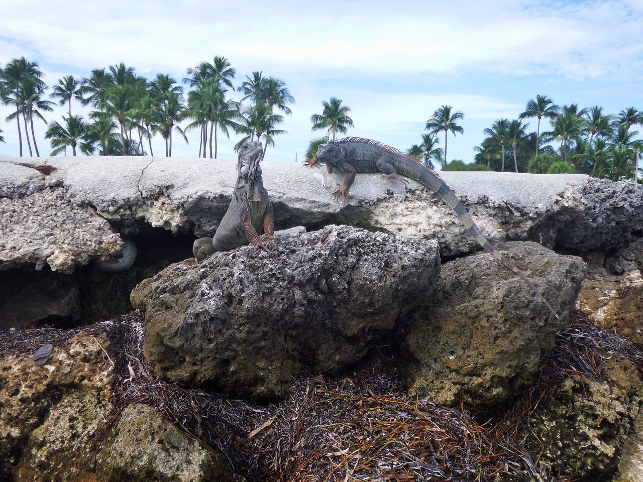 Rock - Object Nature Sky Day Tranquility Geology No People Outdoors Tree Beauty In Nature Water Iguana Green Iguana Florida Keys Islamorada
