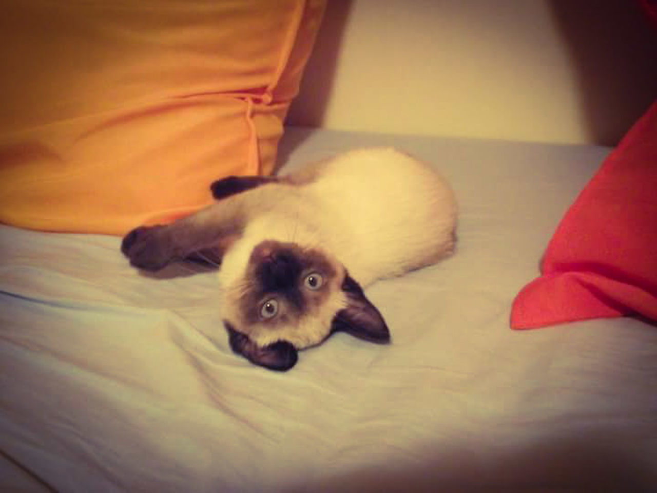 Siamesecats Cats Siamese Cat First Eyeem Photo Pastel Power