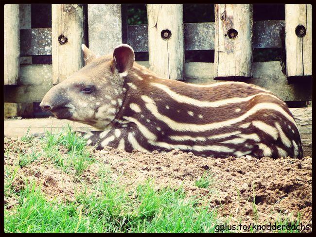 Flachlandtapier Lowland Tapir Animals Tiere