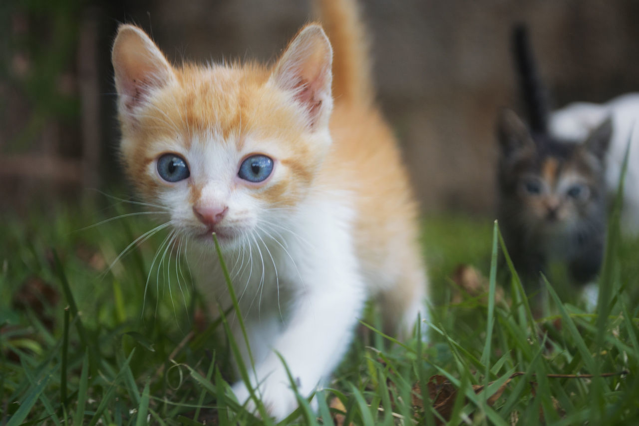 Beautiful stock photos of baby katzen, domestic animals, pets, animal themes, domestic cat
