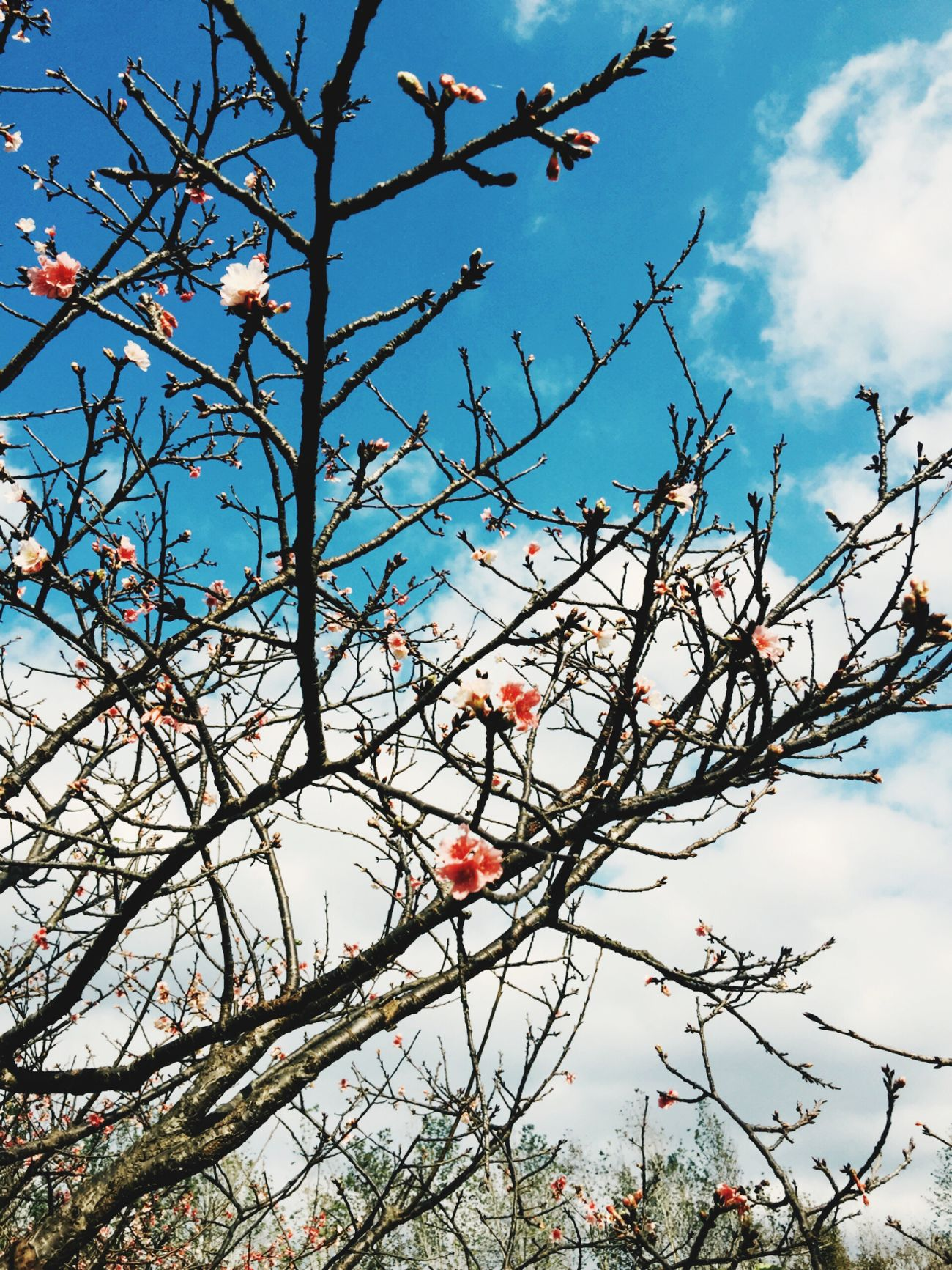 Beauty In Nature 櫻花開了Cherry blossomsきれいな桜が咲いた