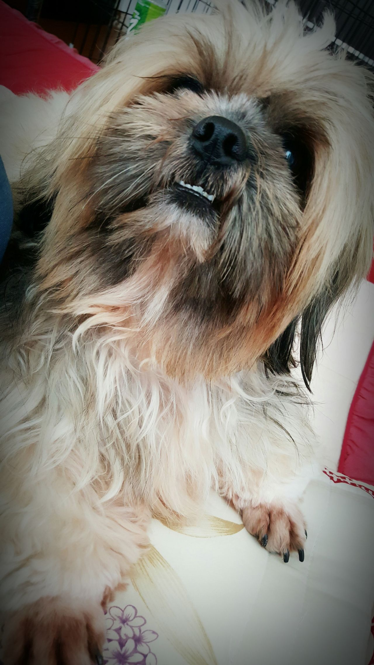 """Meet Cile read as """"Sayl"""" another bundle of joy Dogs Cute Royal Fluffy Lovedogs Love My Family ❤ Baby Dog Doggy Love Sweet Dog 🐶 Dogsarefamily Dogs Of EyeEm Dogoftheday Love❤ Dog❤"""