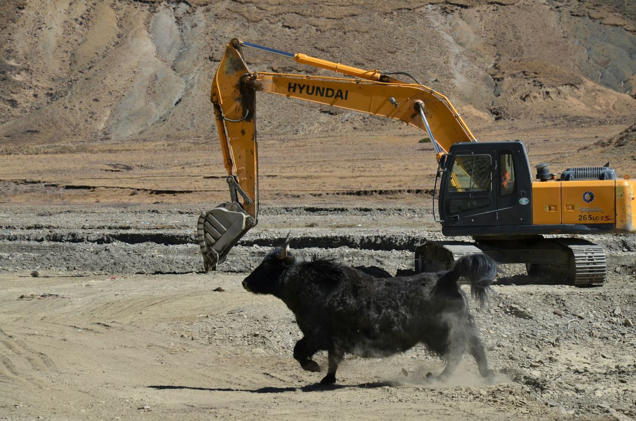 digging, transportation, mud, construction site, road, mammal, land vehicle, animal themes, domestic animals, outdoors, day, no people, working