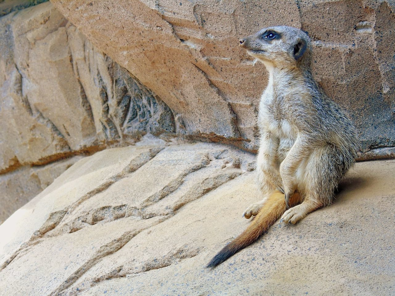 Animal Themes Meerkat Animals In The Wild One Animal Animal Wildlife Mammal Zoo Outdoors No People Nature Day