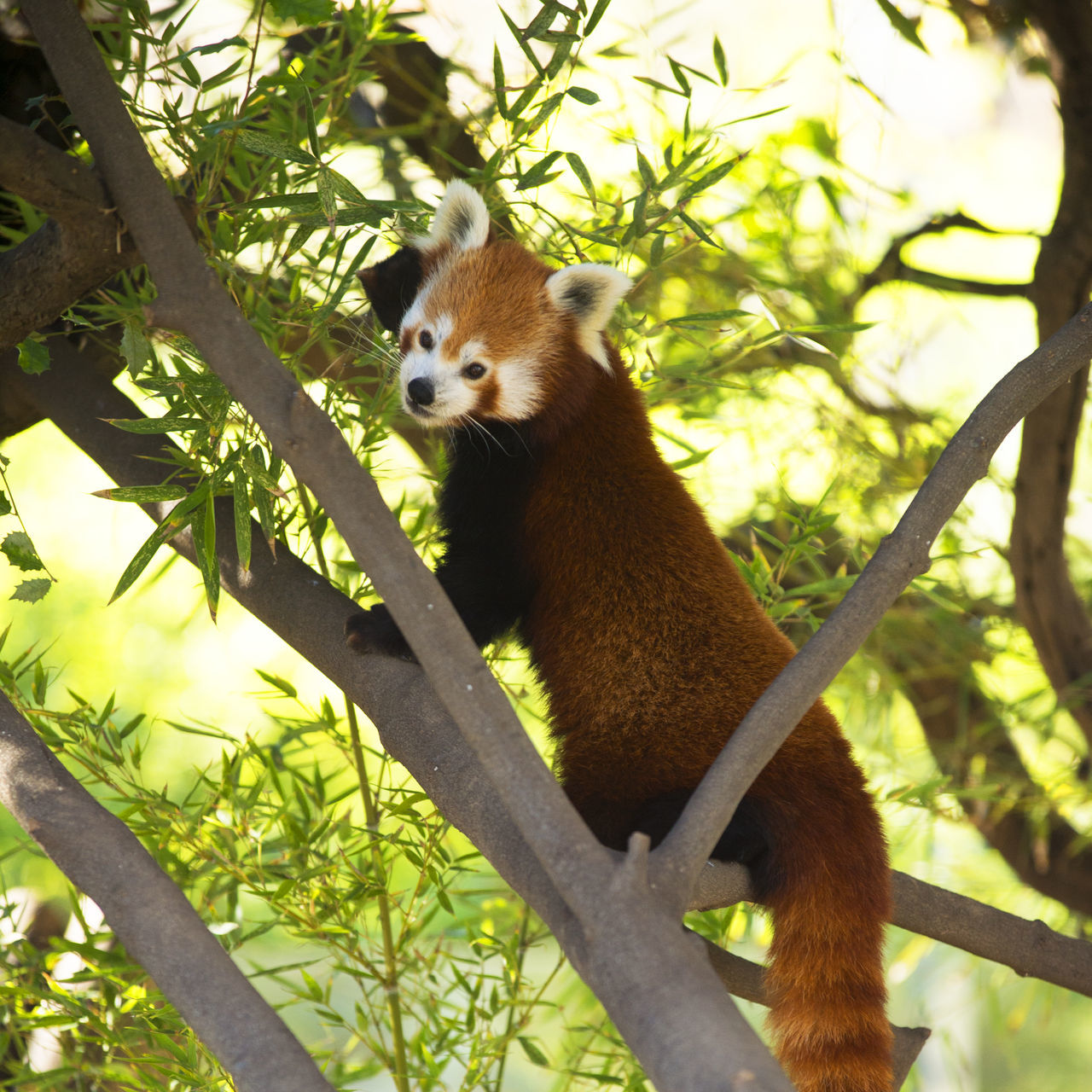 Animals In The Wild Day Nature Nature Photography No People One Animal Red Panda Tree