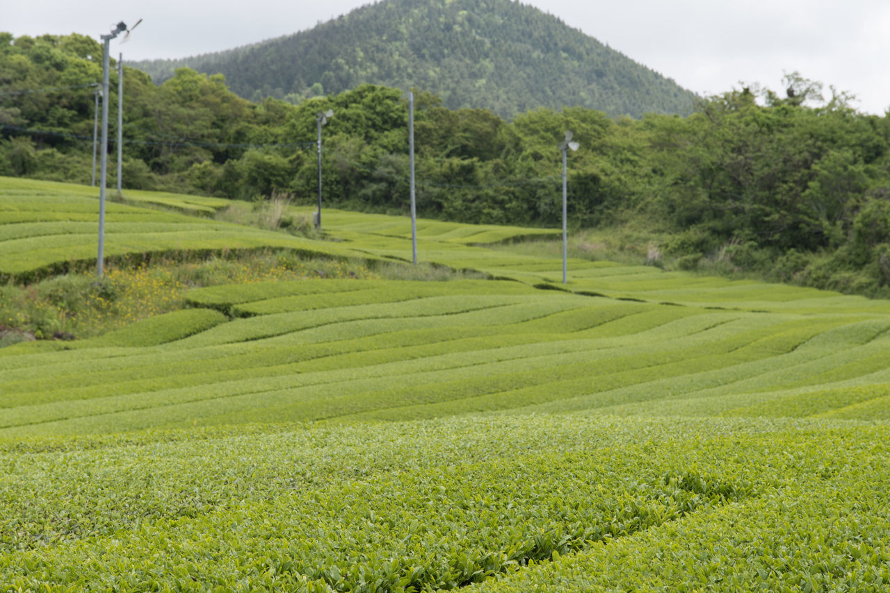 landscape of green tea field at Osulloc in Jeju Isand, South Korea Agriculture Beauty In Nature Day Field Grass Green Color Green Tea Field Growth JEJU ISLAND  Landscape Mountain Nature No People Osulloc Outdoors Rural Scene Scenics Sky Tranquil Scene Tranquility Tree