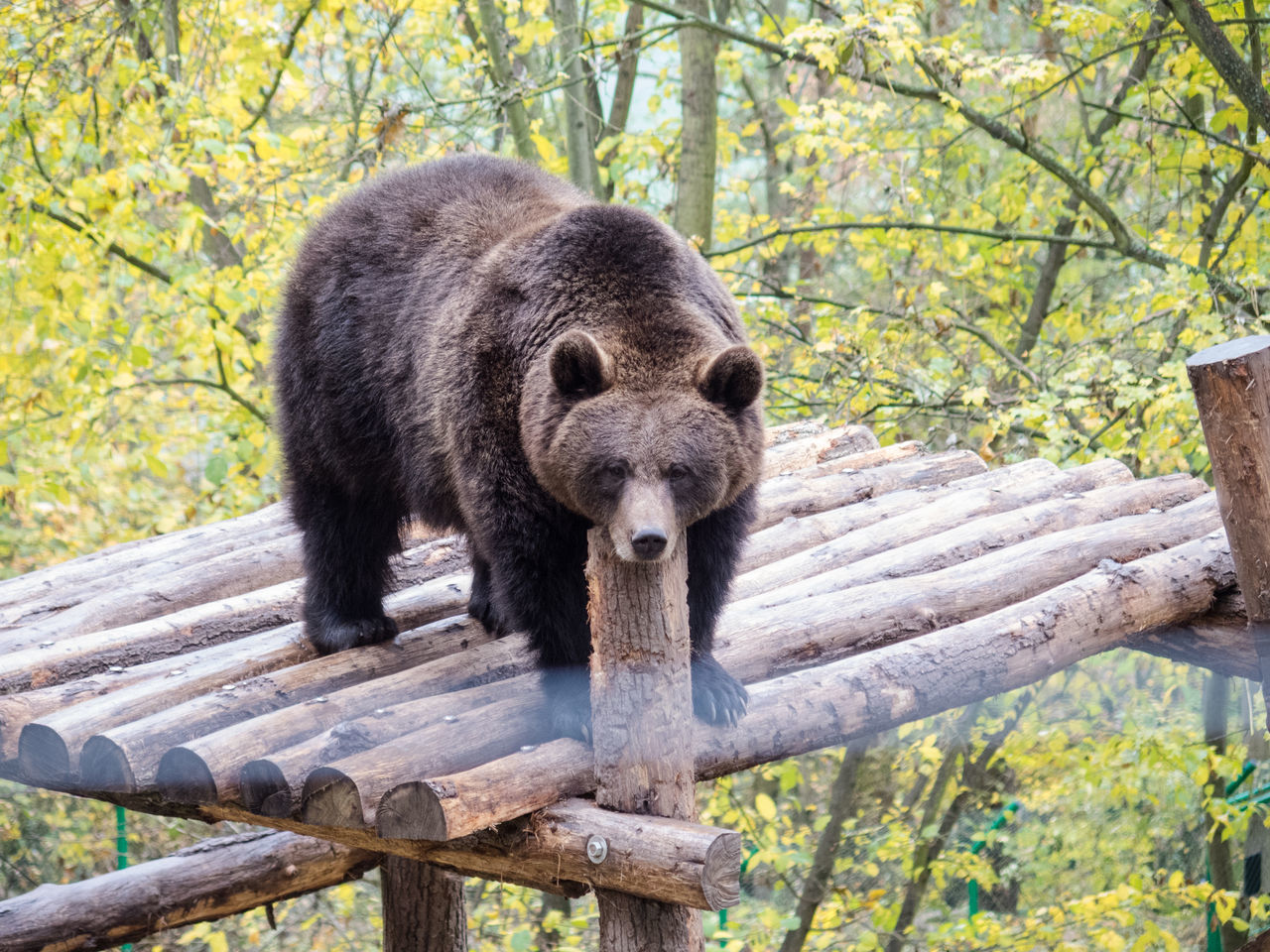 one animal, wood - material, animals in the wild, mammal, bear, animal wildlife, tree, nature, animal themes, outdoors, day, no people, portrait, close-up