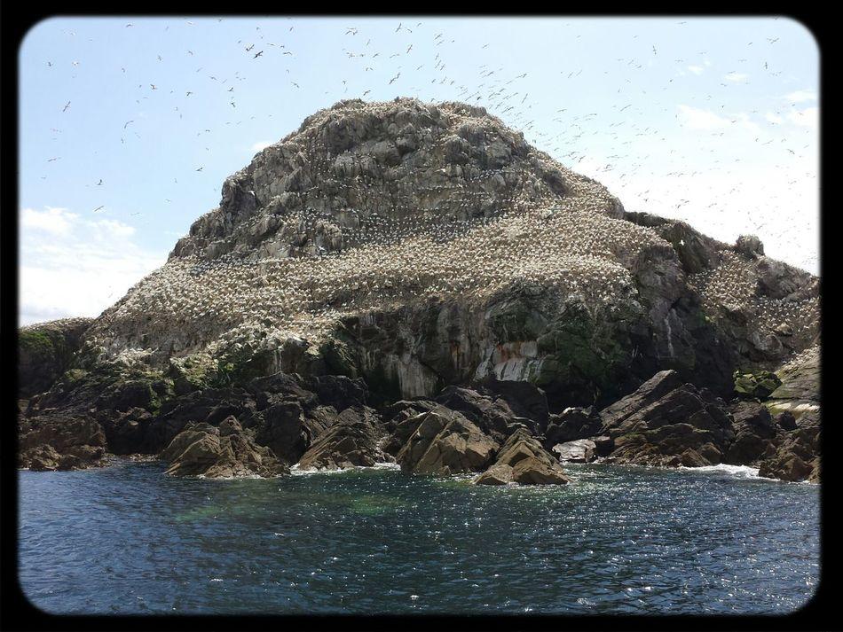 An island full of birds (and I mean full) called Fou de Bassan Bretagne