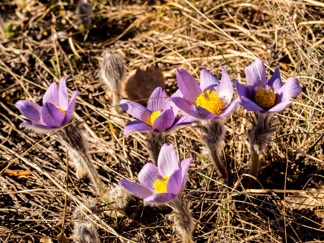 flower, purple, fragility, petal, growth, flower head, crocus, nature, freshness, field, beauty in nature, plant, outdoors, no people, day, close-up, blooming, animal themes