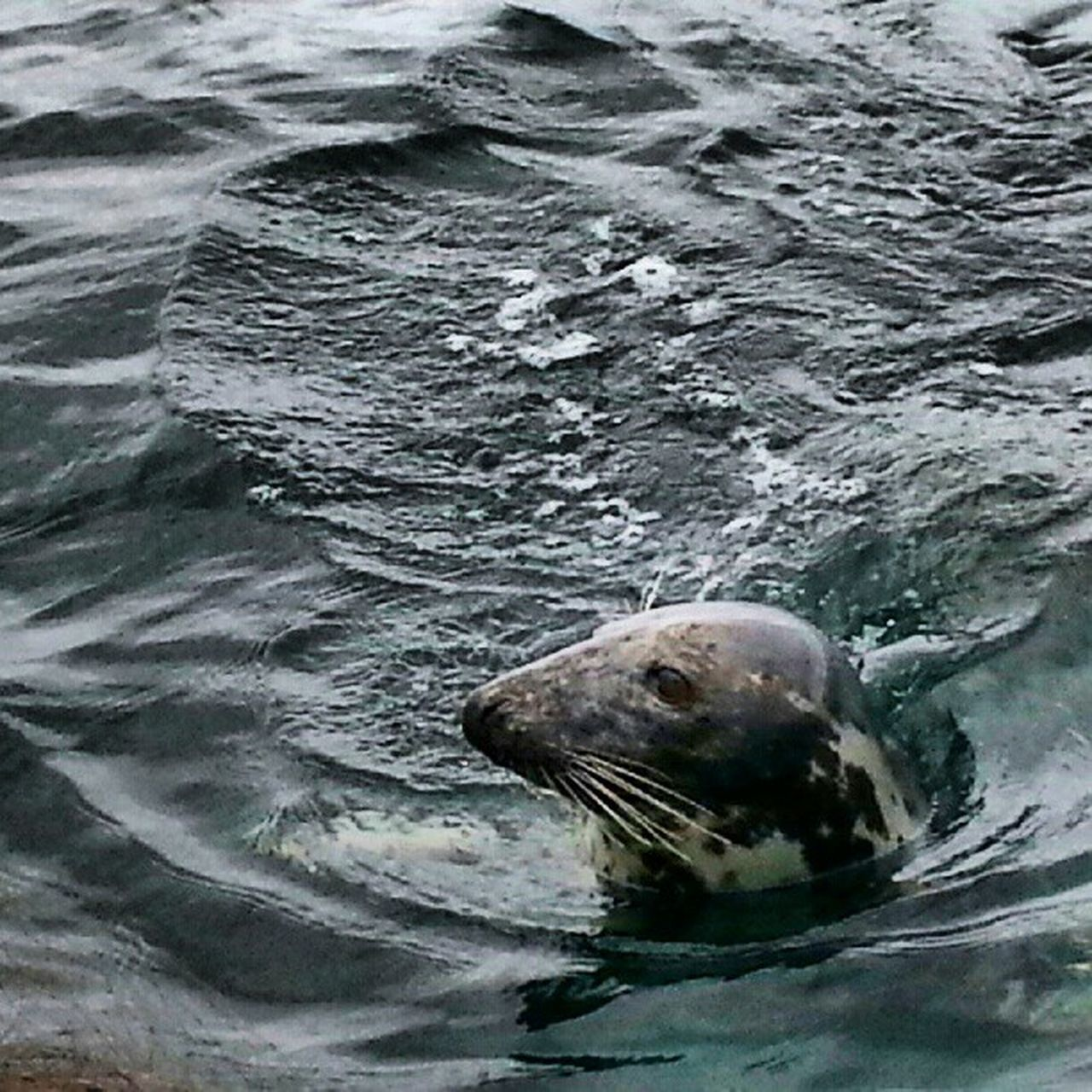 one animal, animals in the wild, aquatic mammal, water, animal themes, no people, animal wildlife, sea, sea life, mammal, seal - animal, day, sea lion, nature, outdoors, swimming, close-up, undersea