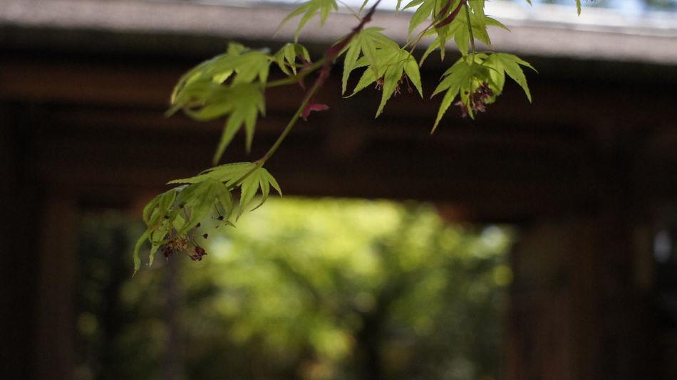 Nex5 Leaf Green Color Tree Day Outdoors Takumar 28mm F3.5 Buddhist Buddhist Temple