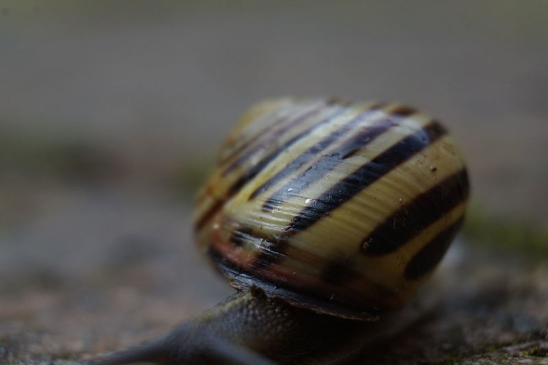 6622 Blur Blurred Motion Brown Close-up Cream Extreme Close-up Focus On Foreground Fragility Macro No People Path Shell Snail Snail Snail Shell Snailshell Snails🐌 Snail🐌 Striped Pattern Stripes Pattern Maximum Closeness