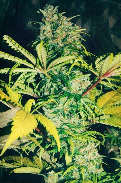 Weed Smoke Marijuana Yerba Buena