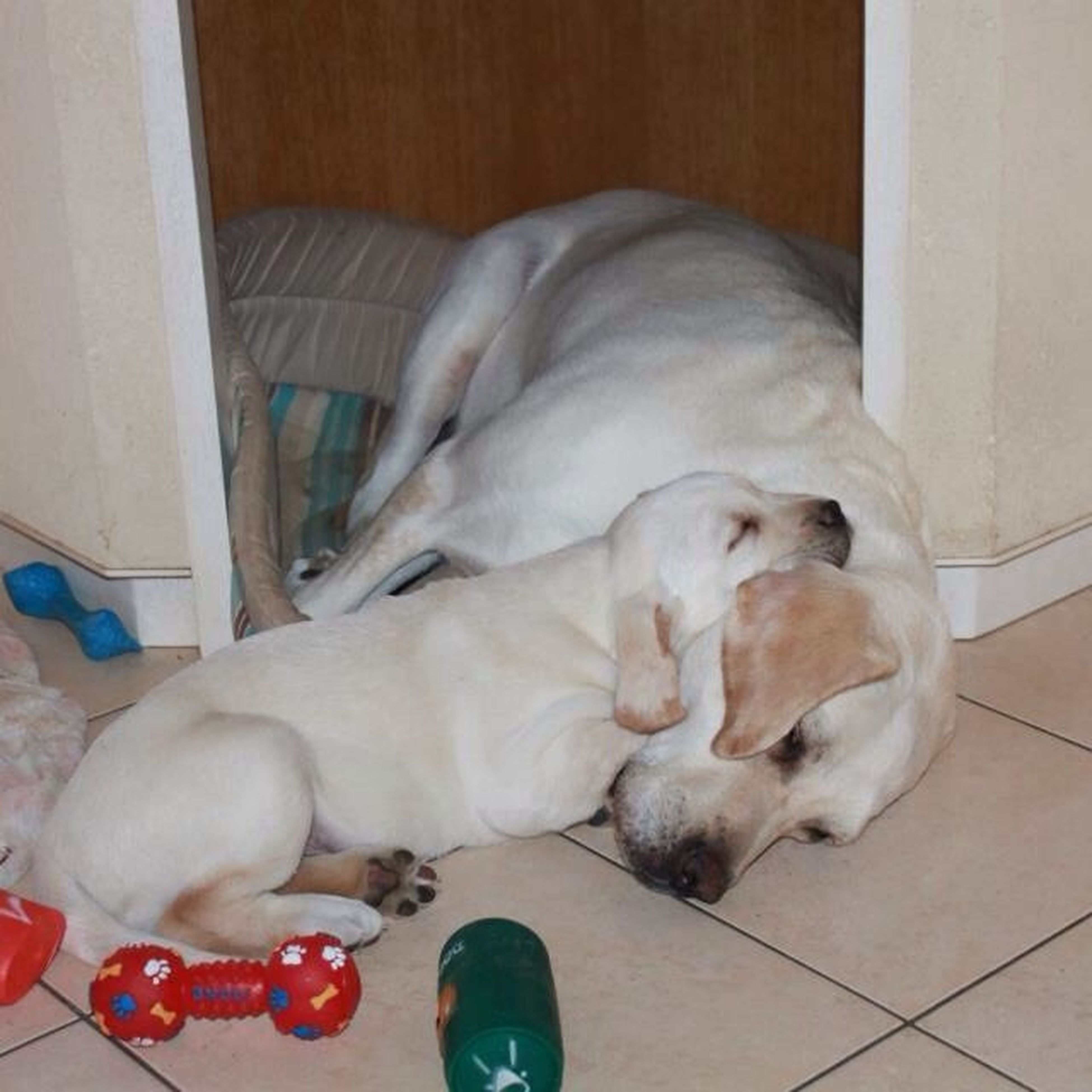 domestic animals, animal themes, pets, dog, mammal, one animal, indoors, relaxation, sleeping, lying down, resting, two animals, home interior, pet collar, togetherness, eyes closed, loyalty, sofa, pampered pets, puppy