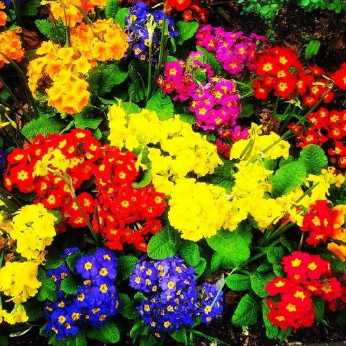 Carnivalofcolour Colours Beauty Flowers Flowerbeds Nature Kingsheathpark Spring Springwalk Spring2014