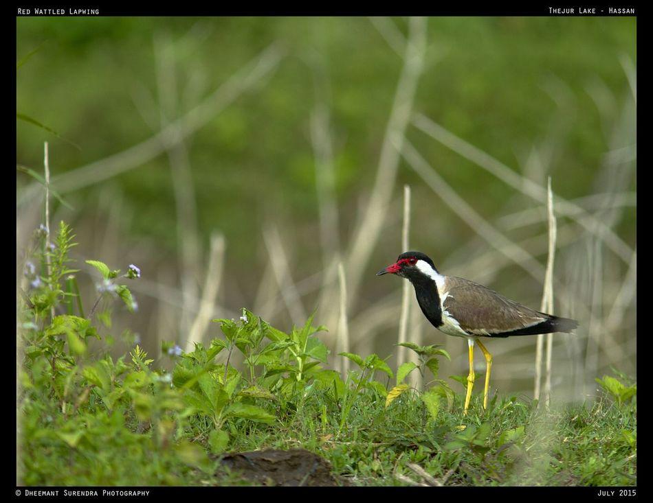 Red Wattled Lapwing, Karnataka India Check This Out Hello World First Eyeem Photo