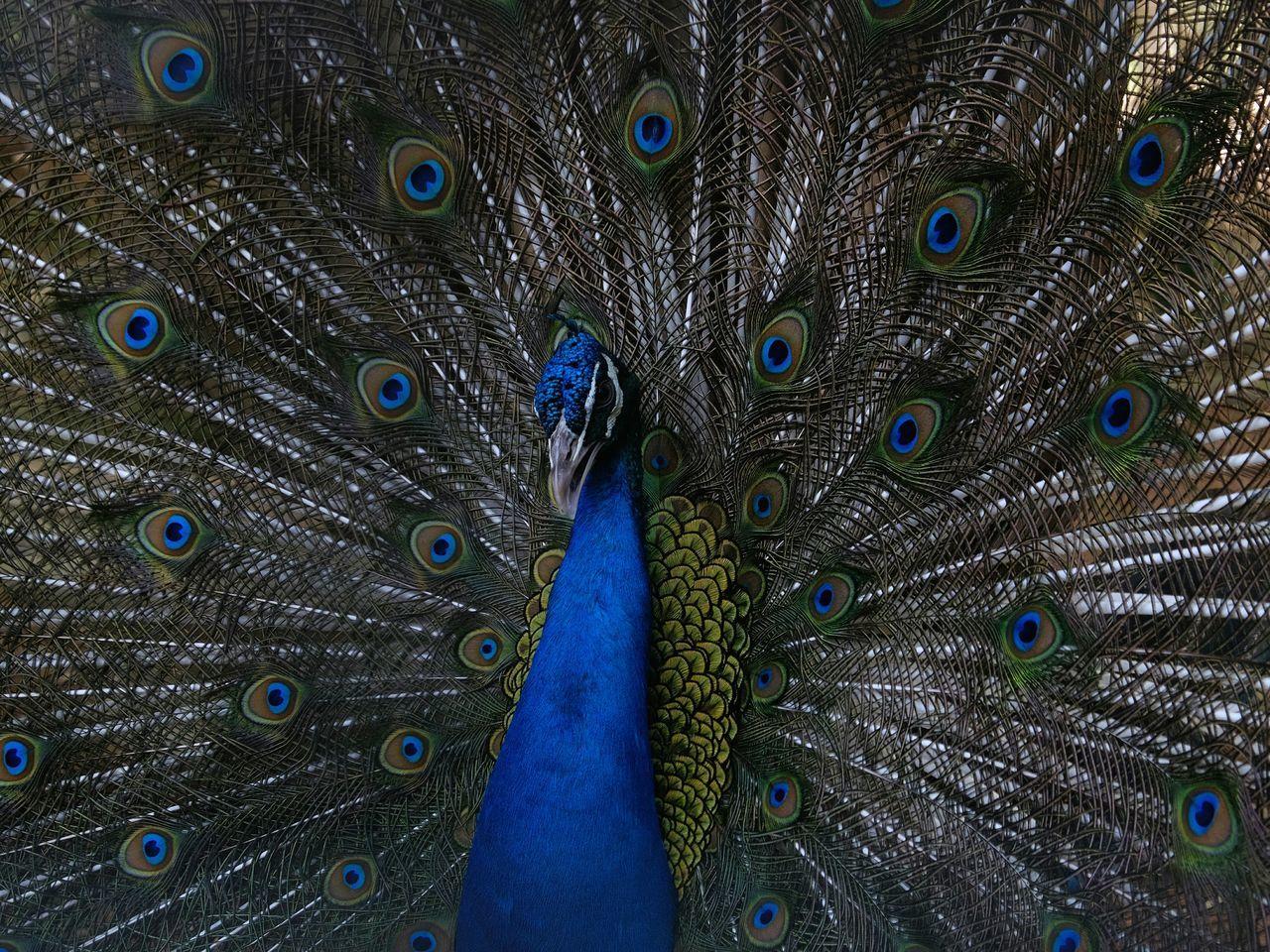 Peacock Birds Of EyeEm  Birds_collection Bird Photography Peacock Peacock Blue Beauty Beauty Bird Beautiful Colors