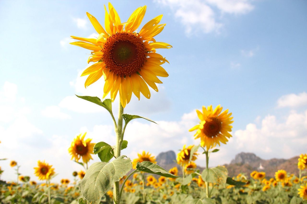 Beautiful stock photos of sunflower, Agriculture, Beauty In Nature, Blooming, Cloud - Sky