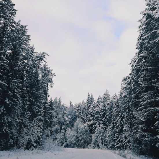 Snow Tree Winter Pinaceae Pine Tree Cold Temperature Forest