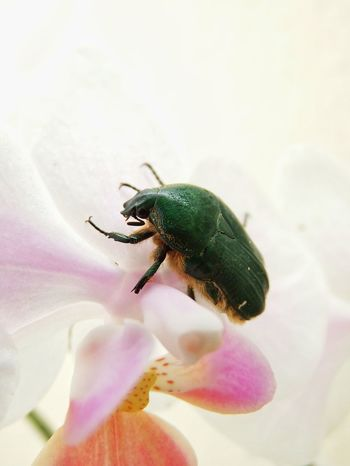 Gametis forticula Insect Flower Chafer Flower Beetle Animal Themes Animal Wildlife Animals In The Wild Flower Flower And Insect Nature Beauty In Nature Close-up Freshness Fragility In My Balcony This Morning Happy Weekend !!!